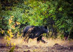 Black Bear in Yellowstone 1