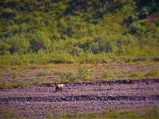 Grizzly on Toklat River Denali National Park Alaska 1