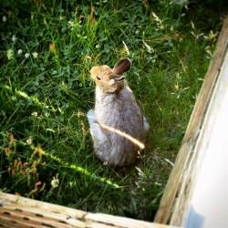 Rabbit Hare Norris Geysers Yellowstone 1