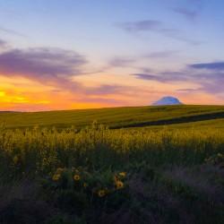 Mt Adams canola fields at sunset