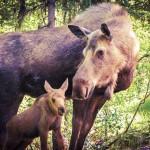 Baby-Moose-with-Mama-Yellowstone