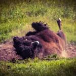 Bison-rolling-in-Dirt-Yellowstone-1-150x150.jpg