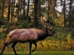 Bull Elk in Hoh Rain Forest Olympic National Park 2traveldads.com