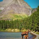 Cow and Calf Moose in Fishercap Lake Glacier National Park 1