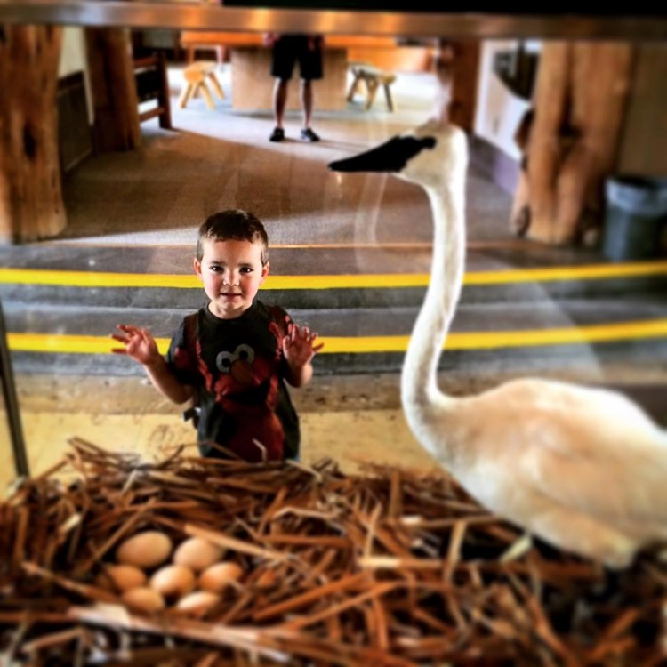 LittleMan Swan Taxidermy Bridge Bay Yellowstone 1