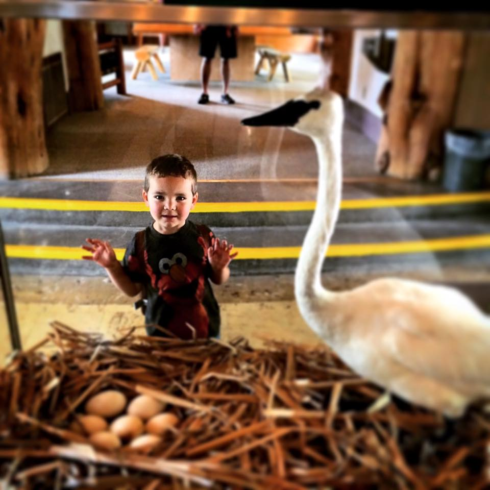 LittleMan Swan Taxidermy Bridge Bay Yellowstone 1