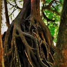 Tree-Roots-at-Hoh-Rain-Forest-in-Olympic-National-Park-2traveldads.com_-225x225.jpg