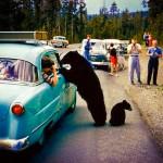 bears-at-car-150x150.jpg
