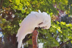 White Cockatoo at St Augustine Alligator Farm 1