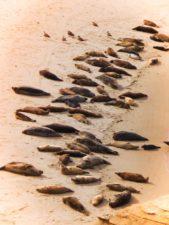 Seals in La Jolla Cove San Diego 1