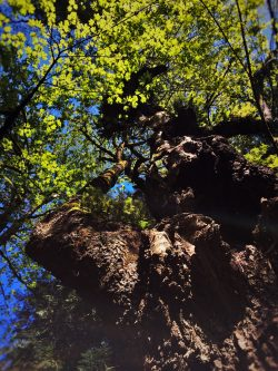 Ancient Maple Tree with burl at Bloedel Reserve Bainbridge Island 1