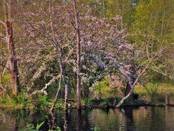 Blossoming Tree and ducks by still pond at Bloedel Reserve Bainbridge Island 1