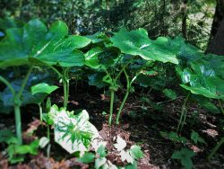 Large leafed plants at Bloedel Reserve Bainbridge Island 1