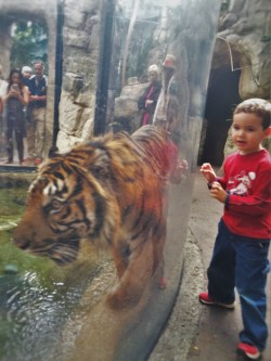 LittleMan and tiger at Denver Downtown Aquarium 1