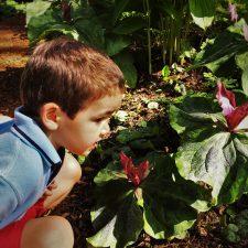 LittleMan smelling Scarlet Trillium at Bloedel Reserve Bainbridge Island 1