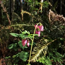 Native Bleeding Heart at Bloedel Reserve Bainbridge Island 1