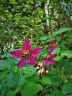 Salmon Berry blossoms at Bloedel Reserve Bainbridge Island 1