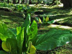 Skunk Cabbage Flowers at Bloedel Reserve Bainbridge Island 6