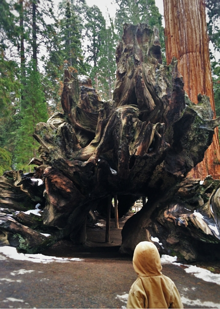 LittleMan and Fallen Monarch Giant Sequoia in Grant Grove Kings Canyon 2traveldads.com