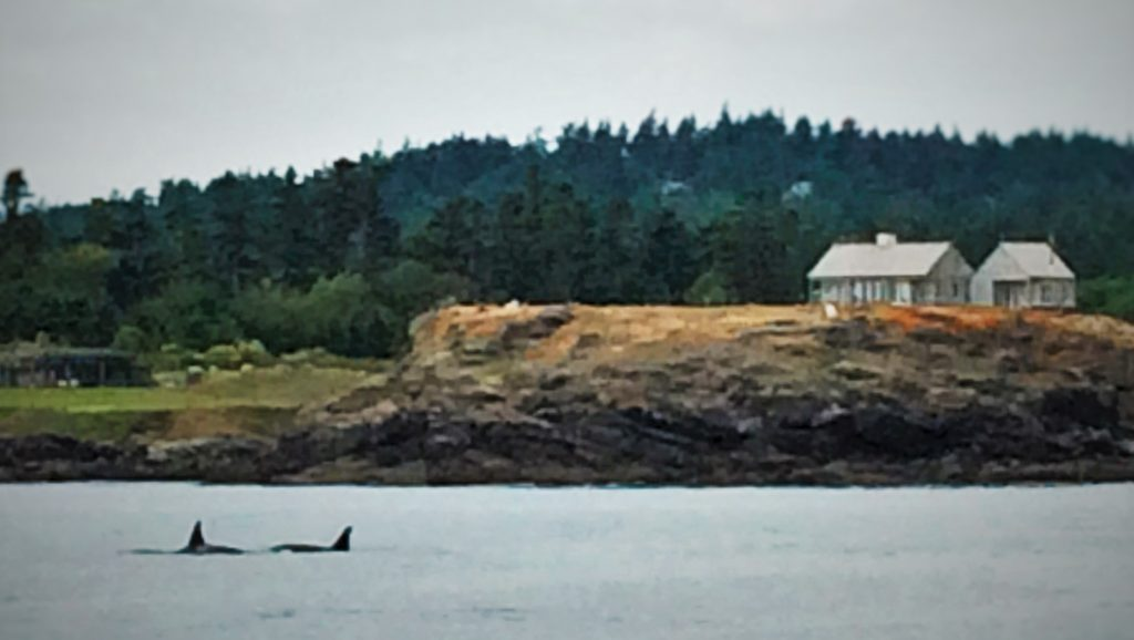Orcas in Strait of Juan de Fuca 2