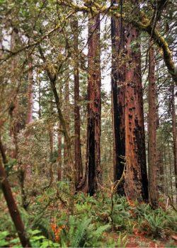 Burned out redwood trees in Redwood National Park California 2traveldads.com