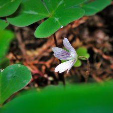 Blooming sorel in Redwood National Park