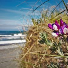 Flowers at Beach at Pacific Reef Hotel Gold Beach Southern Oregon Coast 3