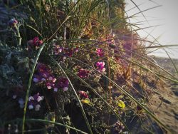 Flowers at Beach at Pacific Reef Hotel Gold Beach Southern Oregon Coast 2