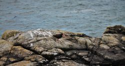 Oyster Catcher bird on rocks at Battery Point Lighthouse Crescent City 1