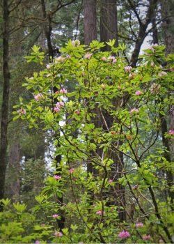 Rhodedenrons in Redwood National Park California 2traveldads.com