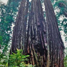 Towering Redwood trees in Redwood National Park 2traveldads.com