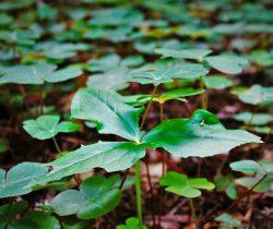 Trillium and Sorel growing in Redwood National Park California 2traveldads.com