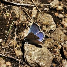 Blue Butterfly at Hetch Hetchy Yosemite National Park 1