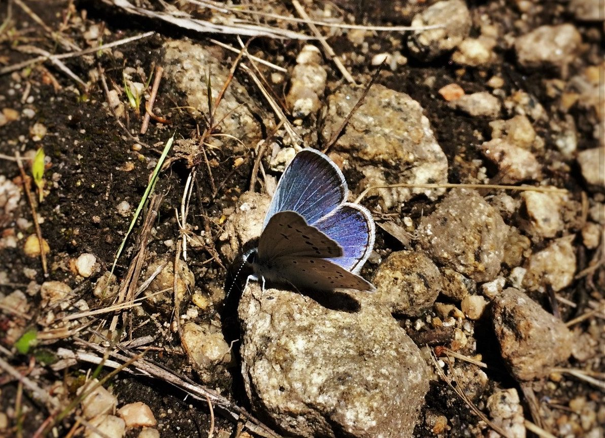 Blue Butterfly at Hetch Hetchy Yosemite National Park 1