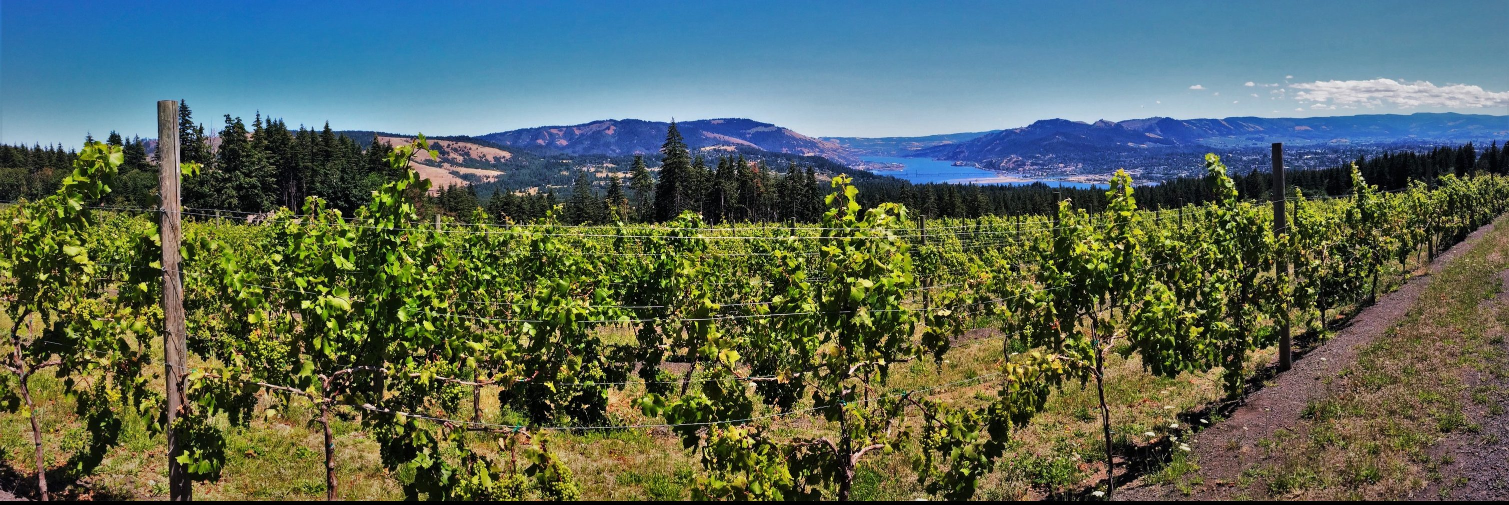 Columbia River Gorge Vineyard with Hood River beyond pano 1