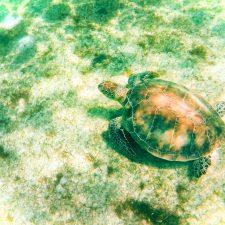 Swimming with Sea Turtles in Akumal 3