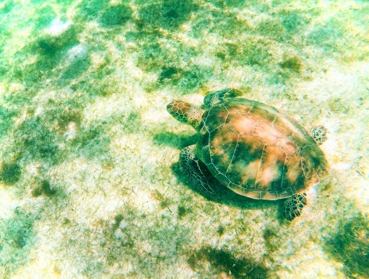 Swimming with Sea Turtles in Akumal 3