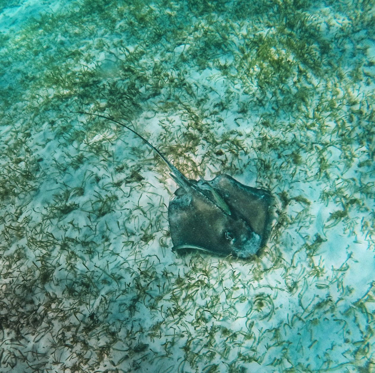 Snorkeling with Sting Ray in Akumal 4