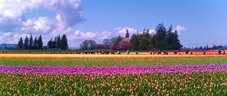 Tulip Fields La Connor Skagit Valley 1