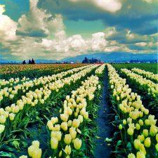 Tulip Fields La Conner Skagit Valley 2