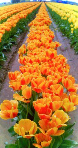 Tulip Fields La Connor Skagit Valley 3