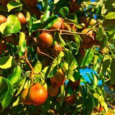 Pear tree at Inn at Ships Bay Orcas Island 1