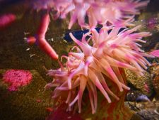 Sea Anemone at Port Townsend Marine Science Center 1