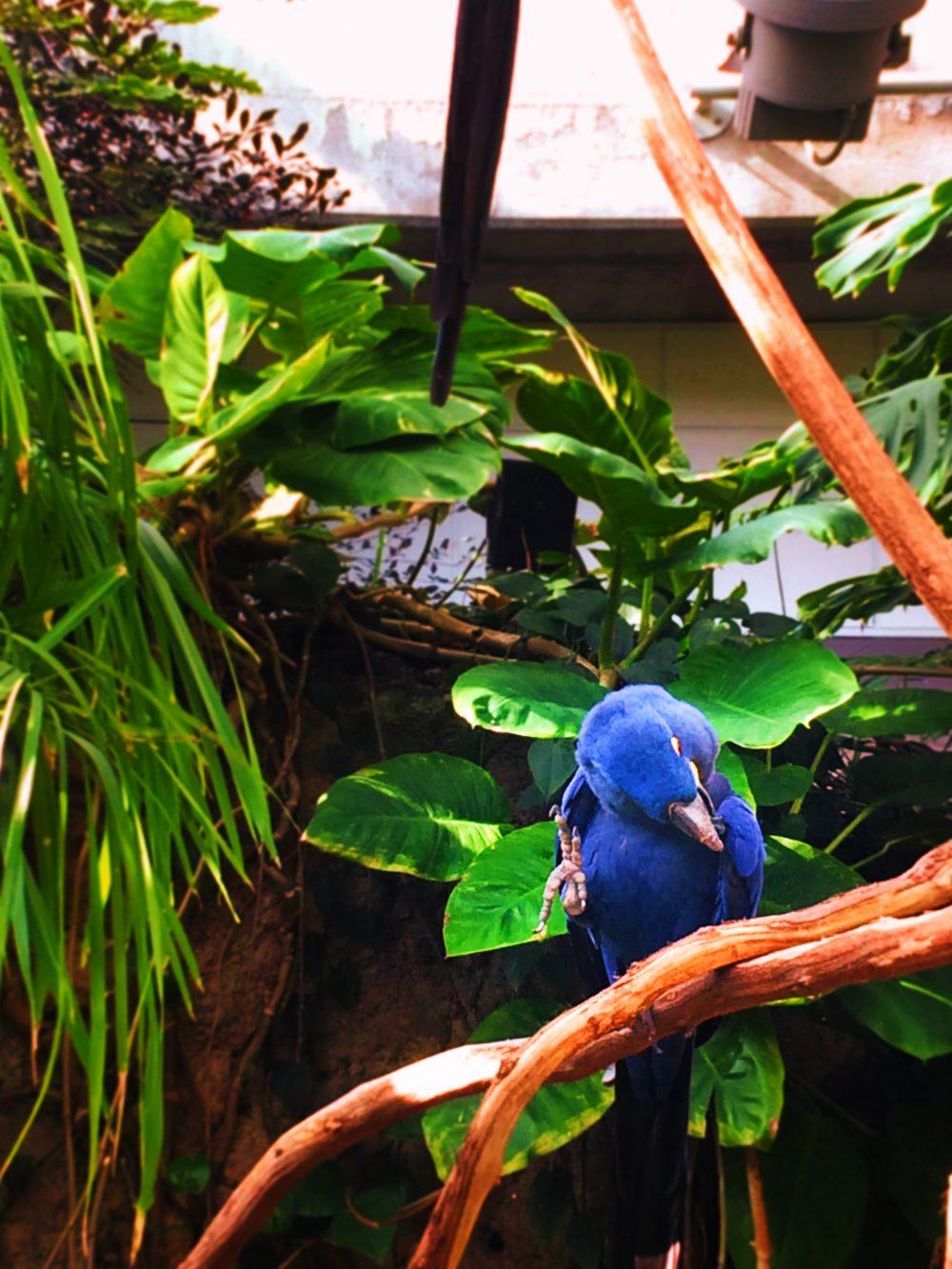 Blue Maccaw in Tropical atrium at Tennessee Aquarium 1