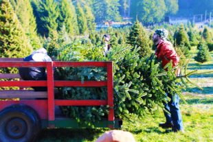 Collecting Christmas trees at Henry's tree farm Kingston, WA
