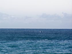 Whales heading for the Pacific Ocean