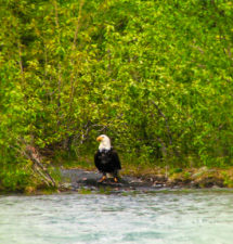Bald Eagle with Catch on shore Olympic Peninsula 2