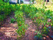 Chinese-chili-pepper-garden-Yanan-Shaanxi-1-225x169.jpg