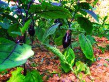 Chinese-eggplant-garden-Yanan-Shaanxi-1-225x169.jpg