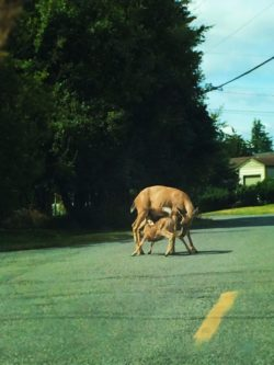 Doe and Fawn Deer in Port Townsend Olympic Peninsula 1